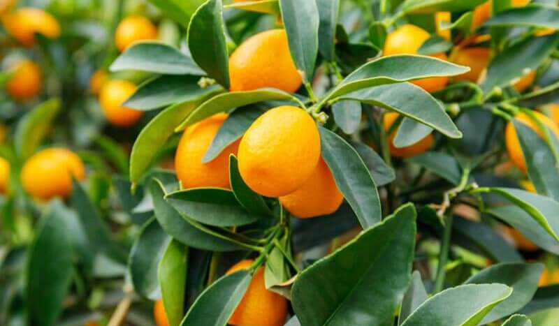 ของแต่งบ้านเก๋ๆ เทศกาลตรุษจีน ต้นส้มจี๊ด